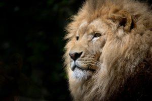 alfa samec - buď rozhodný  alfa samec Si falošný alfa samec? 6 tipov, ako sa tomu vyhnúť lion wild africa african 300x200